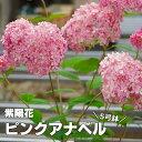 【送料無料】アメリカアジサイ ピンクアナベル 5寸大株の苗【良いものから出荷しますので、遅い方は枝振りが少々少なくなります。】【ラッピング・メッセージカード不可】