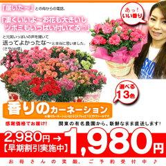 母の日のお花の早期ご予約割引スタート!カーネーションの鉢花を素敵な花贈りに!香りのある花...