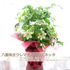 【楽天母の日特集に紹介されました!】母の日 八重咲きクレマチス 「ビエネッタ」 鉢植え プレゼ…