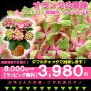 紫陽花『ファンタジア』