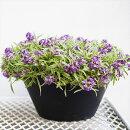 【送料無料】長く咲く!アリッサムハッピーポンポン9寸大鉢仕立て白斑の葉に紫の花がこぼれるように咲くコントラスト最高です!はちみつの香りオリジナル品種【ラッピング・メッセージカード不可】