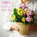 【送料無料】八重咲きカランコエ3色植え6号大株手間なしらくらくカラフル!
