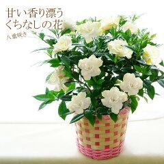 【送料無料】母の日 八重咲き!甘い香り漂うクチナシの花 香りで元気に!香る香りの贈り物【代引き…