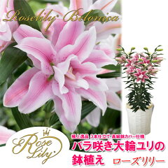 【楽天母の日特集に紹介されました!】母の日 送料無料 バラ咲き大輪ユリ「ローズリリー」の鉢植え…