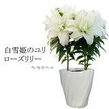 母の日 ギフト プレゼント 花 鉢植え 珍しい 「白雪姫のユリ ローズリリー」香る純白の大きな花