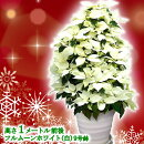 【送料無料】お歳暮やギフトにも!本物のポインセチアで仕立てたクリスマスツリー背丈1メートル9号鉢植えフルムーンホワイト白いポインセチア大鉢プリンセチア【育て方(管理マニュアル)クリスマスカード付・ラッピングなし】