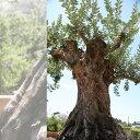 御神木 樹齢300年のオリーブの木 鉢植えになっています!全国へ自社便でお届け可能!実物の見学...