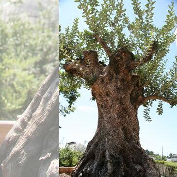 【4/27日着から5/20着不可】御神木 樹齢300年のオリーブの木 鉢植えになっています!全国へ自社便でお届け可能!実物の見学も可能です!庭木 常緑樹 オリーブ 苗木 植木 販売】【RCP】