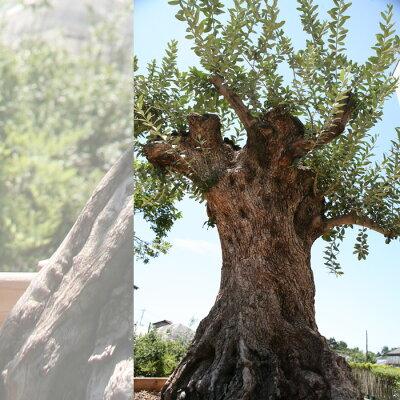 庭木 常緑樹 オリーブ 苗木 植木 オリーブの木 販売御神木 樹齢300年のオリーブの木 鉢植えに...