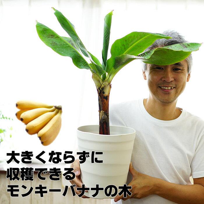 【送料無料】来年には収穫できるかも!コンパクトで育てやすい ドワーフモンキーバナナ 6号大苗(7号の鉢つきです) 通販 【ラッピング・メッセージカード不可】