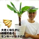 【送料無料】来年には収穫できるかも!コンパクトで育てやすいドワーフモンキーバナナ6号大苗(7号の鉢つきです)
