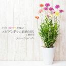 【送料無料】お祝い蘭エピデンドラム彩色MIX陶器鉢鉢植え花鉢ギフト仕様ご贈答用【RCP】
