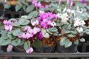 原種シクラメンコウム※葉個体差あり2.5寸1苗冬咲き2月〜4月咲き横山園芸での生産品