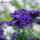 花苗ヘリオトロープ香水木紫花3.5寸9苗セット送料無料【ラッピング・メッセージカード不可】