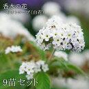 花苗ヘリオトロープ香水木白花3.5寸9苗セット送料無料【ラッピング・メッセージカード不可】
