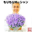 【送料無料】もりもりベルフラワー9号大鉢(直径27センチの鉢)カンパニュラ宿根草この鉢のまま2〜3年楽しめます!自分で満開にして楽しんでもらえるように、2分咲きから5分咲き出荷!