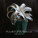 【送料無料】ディッキアグランマルニエ本物です!葉張り15センチ程度ですが、この夏一気に育ちます!