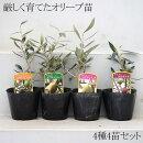 厳しく育てたオリーブの木3.5寸ポット苗4種4苗セットスペインやギリシャ原産のレア品種もあります!チプレッシーノコロネイキコラティーナコレッジョラ【ラッピング・メッセージカード不可】
