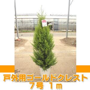 ゴールドクレスト クリスマスツリー ラッピング・メッセージカード