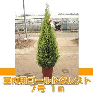 ゴールドクレストゴールドクレスト ウィルマ(室内用) 7号 約1m 【農家直送】【クリスマス...
