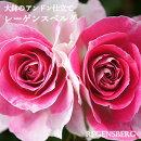初心者向き!つるバラレーゲンスバーグ8号(直径24センチ)鉢アンドン仕立てバラ咲くお庭が超簡単!自分で仕立てなくても大丈夫送料無料【メッセージカード・ラッピング不可】レーゲンスバーグ