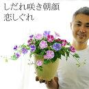 【送料無料】しだれ咲き朝顔恋しぐれ2色以上の花色を寄せ植えしました!昼過ぎまで咲く!秋まで咲く!斑入り葉の手間なしアサガオ【ラッピング・メッセージカード不可】