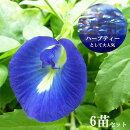 【送料無料】グリーンカーテンに!バタフライピー3.5寸6苗セットハーブティーにできる美容系のお花青