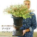 【8月12日から20日着不可】【送料無料】置くだけ簡単な生垣アベリアコンフェッティー斑入り7号素敵な鉢で。暑さに強い寒さに強い鉢植え毎年咲く植木【同梱・ラッピング不可】