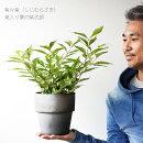 【送料無料】紫々紫(シジムラサキ)斑入りのムラサキシキブ5号スタイリッシュ素焼き鉢観葉植物を外に置きたいと思っていた方に【同梱・ラッピング不可】