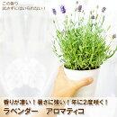 【お得な2鉢セット】2度咲くラベンダーアロマティコ5寸(いつもより一回り大きな直径15センチの鉢)鉢植えの苗香りが普通のラベンダーより強いんですよ!宿根草【ラッピング・メッセージカード不可】