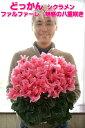 【産地直送でピンピン!】鉢花 どっかんシクラメン ファルファ...