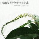 【送料無料】素敵な香りを奏でる小花バイオリンの木fiddlewood6号【ラッピング・メッセージカード不可】【RCP】
