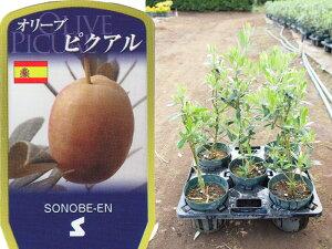送料無料 オリーブ ピクアル 6寸 5鉢セット オリーブの木 苗木 鉢植え【ラッピング・メッセージカード不可】【RCP】【5/1から5/14着不可】