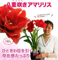 母の日ギフト 送料無料 八重咲きのアマリリス 全6色 2016 鉢植え 送料無料 プレゼント …