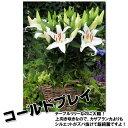 【送料無料】ユリの中でも庭植えという、新しい地位を確立した画期的なユリ!【予約商品7月上旬...