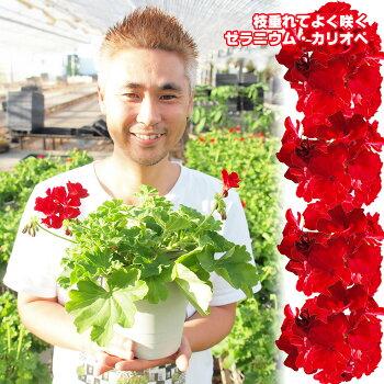【祝10周年記念】よく咲くゼラニウムカリオペ5号10鉢セット