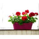 【送料無料】ゼラニウム カリオペ そのまま飾れるスタイル!ドイツ製プランターに植え込んでみまし…