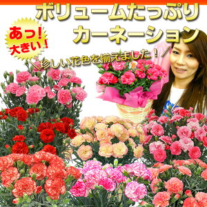 【楽天母の日特集に紹介されました!】母の日 ギフト【送料無料】 「ボリュームたっぷりカーネーション」珍しい花色ばかりを集めました!累計1万人以上のお母さんの笑顔に貢献したはコレ! 鉢植え プレゼント 2016 花【楽ギフ_包装】【RCP】