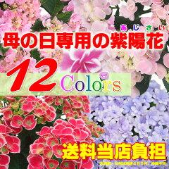 【楽天母の日特集に紹介されました!】母の日 ギフト 感動の紫陽花(アジサイ) 5号! プレゼン…