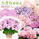 送料無料 2021母の日ギフト あじさい プレゼント 花 鉢植え 「大きな」感動の紫陽花(アジサイ)