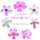 送料無料【12苗セット】芝桜シバザクラ虹色カーペット3.5号ポット