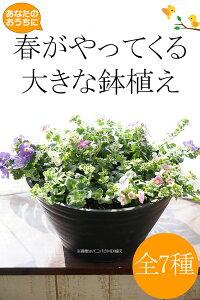あなたのおうちに春がやってくる!大きな鉢植え 全7種(だと思ったら8種だった。) 香る大輪バコ…