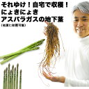 【送料無料】初心者さんOK!それゆけ!自宅で収穫!にょきにょき「アスパラガスの地下茎」いわゆる苗です。鉢でも庭でも!初心者さんでも!簡単に育てられる美味しいアスパラガス【アスパラ同士の同梱可能】