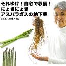 初心者さんOK!それゆけ!自宅で収穫!にょきにょき「アスパラガスの地下茎」鉢でも庭でも!簡単に育つ美味しいアスパラ。気軽に家庭菜園が楽しめる野菜なのです【アスパラ同士の同梱可能】