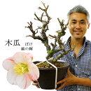 【送料無料】木瓜ぼけボケ尺寸越の輝絞り咲き超大株古木1点もの現物高さ63センチ