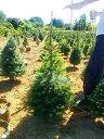 暑さに強いもみの木 モミの木(ドイツトウヒです) クリスマスツリー 100cm クリスマス 購入 鉢...