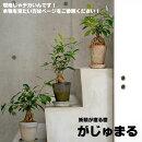 【送料無料】観葉植物ガジュマルの樹手作り素焼き鉢(鉢皿付き)妖精が宿ると言われる南国の樹木