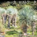 【送料無料】ユッカ ロストラータ 男が憧れるロマンたっぷりの庭木はズバリこれ!真夏の西日もなんのその!0.6から0.7m・1m・1.1m・1.2m・1.3m・1.4m・1.5m【代引き不可(コンビニ決済にご変更いたします)】【ラッピング・メッセージカード不可】【RCP】