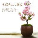 【現在蕾です】冬咲きの八重桜盆栽苔化粧(一才桜旭山)サクラ(さくら)です!もちろん陶器鉢仕立て!【メッセージカード可能】