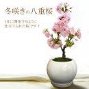 冬咲きの八重桜(一才桜旭山)1月に開花するように仕立てられたサクラです!開花直前の苗木をお届けします!もちろん陶器鉢仕立て!